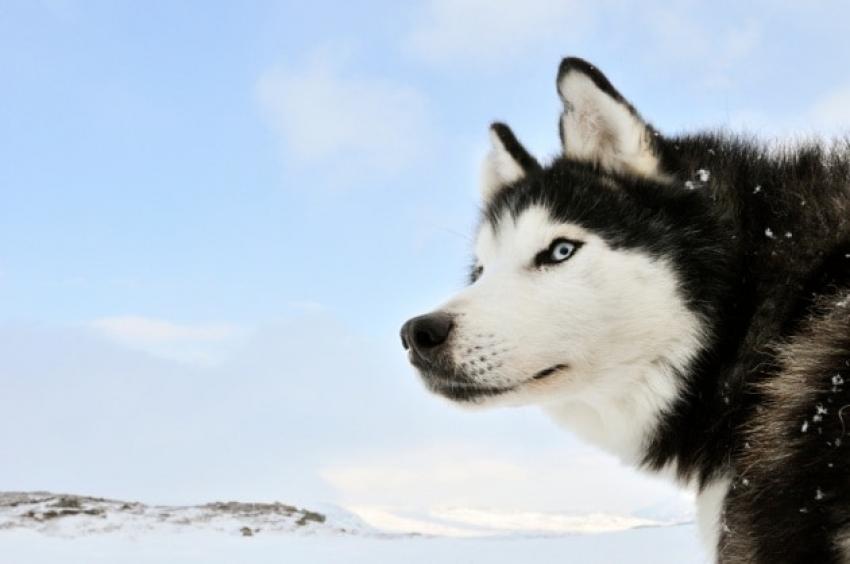 Il Lupo di Taimyr: l'antenato di lupi e cani