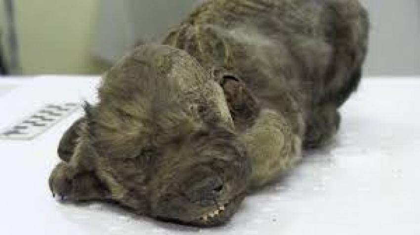 Dogor: cane o lupo? La scoperta degli scienziati svedesi