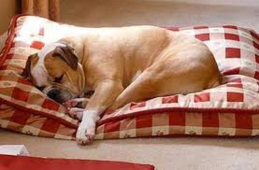 Perchè i cani grattano la cuccia? Cani ruspa e istinti