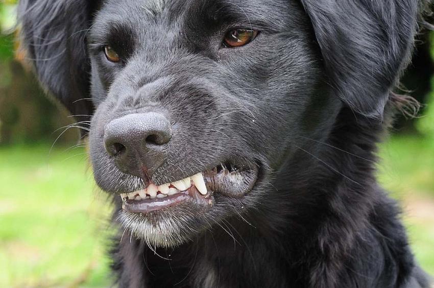 Chiusure denti del cane: quali sono accettate e quali sono difetti?