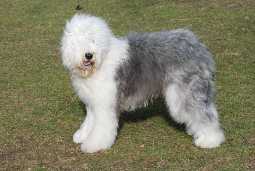 Le razze canine - L'Old English Sheepdog o Bobtail