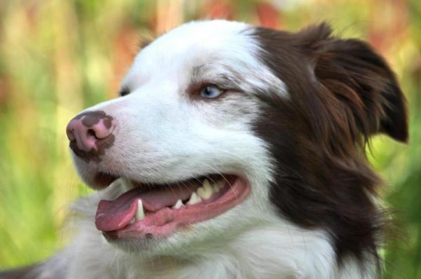 Depigmentazione del naso del cane: di cosa si tratta