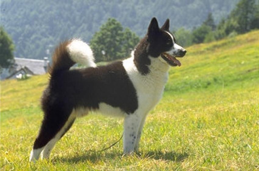 Le razze canine: il Cane da Orso della Carelia