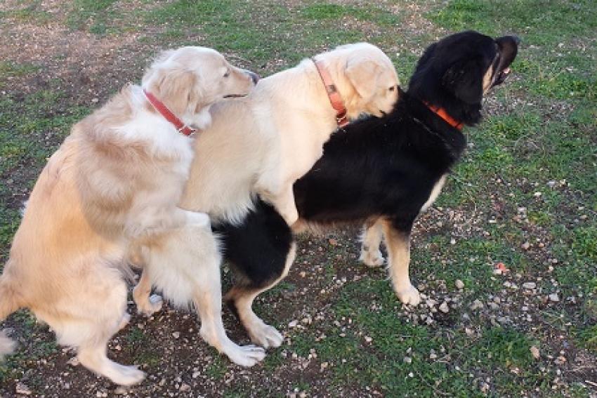 Perchè il cane maschio monta un cane maschio? Dominanza sociale