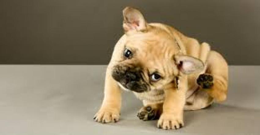 Collari antiparassitari per cane: Beaphar, Scalibor e Seresto a confronto