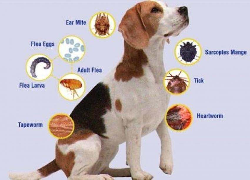 Antiparassitari cane: Advantix, Exspot, Frontline Combo e Tri-Act a confronto