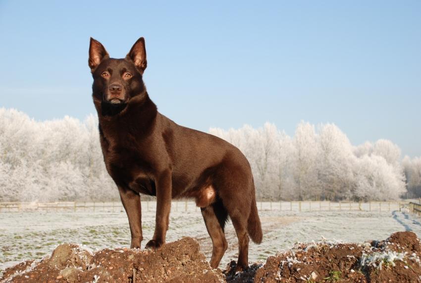 Le razze canine - Il Kelpie, Cane da Pastore Australiano