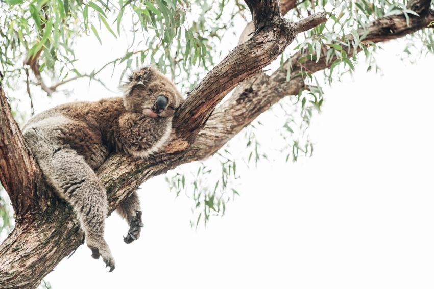 Incendi Australia - Arrivano i cani salva koala