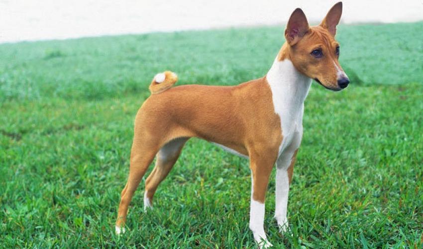 Le razze canine - Il Basenji